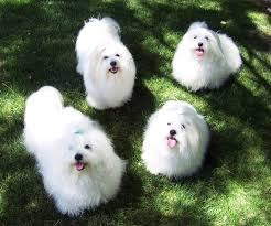 Non Shedding Small Dog Breeds List by Coton De Tulear Coton De Tulear Dogs From Code Of Ethics Breeder