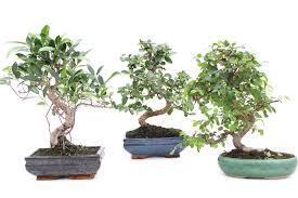 indoor bonsai zimmerbonsai und ihre spezielle pflege