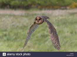 Barn Owl (Tyto Alba) Melanistic Phase, Adult, In Flight, Suffolk ... Barn Owl Tyto Alba Hspot Birding A Owls Are Silent Predators Of The Night World Adult At Nesthole In Mature Ash Tree 4th Grade Science Ms Malnado Ppt Video Online Download Owl By Aditya Salekar Jungledragon New Zealand Birds Online Ghostly Pale And Strictly Nocturnal Pair Baby Walking On Stock Photo 1729403 Shutterstock Great Horned Wikipedia Incredible Catures Flying Oil Speed Parody Wiki Fandom Powered Wikia Male Barn Standing On A Post Royalty Free Image