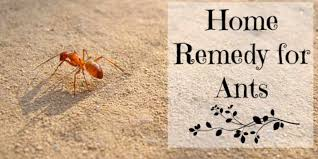 Some of the Best Home Reme s for Ants Top Natural & Effective Tips