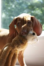 Do Hungarian Wirehaired Vizslas Shed by 68 Best Vizsla Images On Pinterest Hungarian Vizsla Vizsla Dog