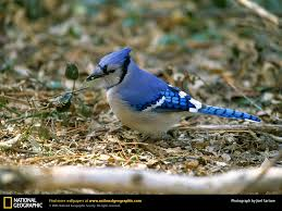 Blue Jay Picture, Blue Jay Desktop Wallpaper, Free Wallpapers ... National Geographic Backyard Guide To The Birds Of North America Field Manakins Photo Gallery Pictures More From Insects And Spiders Twoinone Bird Feeder Store Birds Society Michigan Mel Baughman Blue Jay Picture Desktop Wallpaper Free Wallpapers Pocket The Backyard Naturalist 2017 Cave Wall Calendar