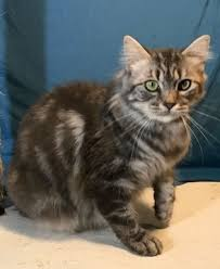 bobtail cat american bobtail introduction