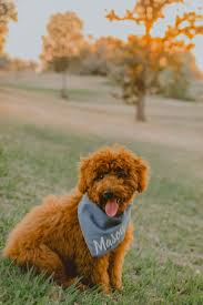 Do F1 Sheepadoodles Shed by Best 25 F1b Goldendoodle Ideas Only On Pinterest Poodle