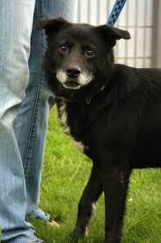 Urgent gassing shelterMeet Oscar a Petfinder adoptable Labrador Retriever Dog