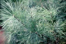 What Is The Best Christmas Tree Variety by Tree Varieties