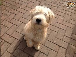 73 best soft coated wheaten terrier images on pinterest animals