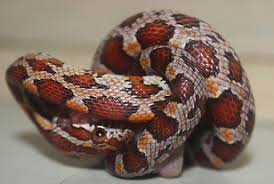 Corn Snake Shedding Signs by Corn Snake Care Sheet