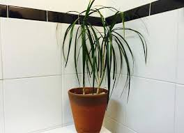 Small Plants For The Bathroom by The 10 Best Plants For Your Bathroom Dracaena House Plants