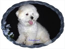 non shedding hypoallergenic hybrid dogs cavachons cavachon puppies akc bichon frise puppies akc cavalier