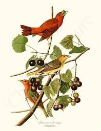 Take Wing Summer Tanager Vintage Bird Illustration By James Audubon Art Print