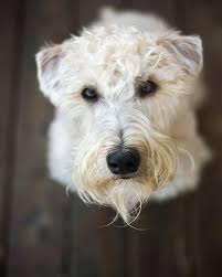 soft coated wheaten terrier dog breed information pictures