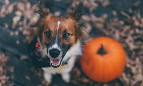 Pumpkin Puree For Dog Constipation by Top 3 Health Benefits Of Pumpkin For Dogs And Cats Care2 Healthy