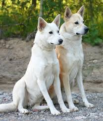 canaan dog breed info pictures characteristics hypoallergenic no