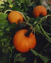 Monrovia Pumpkin Patch by Best 25 Pumpkin Growing Ideas On Pinterest Pumpkin Garden