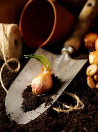 planting care bulbs more of illinois extension
