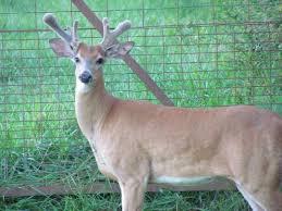 Does Deer Shed Their Antlers by Understanding Antler Growth Higgins Outdoors