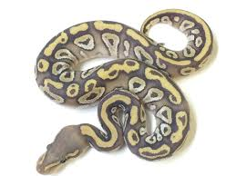 Ball Python Bedding by Mojave Ghost Ball Python For Sale Xyzreptiles