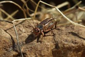Crickets Insects Symbolism And Meaning
