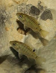 Juvenile Blue Tilapia Oreochromis Aureus