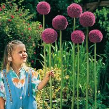 buy alliums cheap flowering bulbs herts and