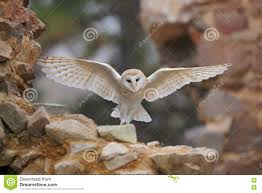 Barn Owl, Tyto Alba, With Nice Wings Flying On Stone Wall, Light ... Barn Owl Landing Spread Wings On Stock Photo 240014470 Shutterstock Barn Owl Landing On A Post Royalty Free Image Wikipedia A New Kind Of Pest Control The Green Guide Fence Photo Wp11543 Wp11541 Flight Sequence Getty Images Imageoftheday By Subject Photographs Owls Kaln European Eagle Coming Into Land Pinterest Pictures And Bird