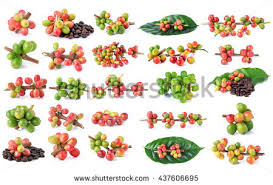 Coffee Plant Clipart Small Plant3175846