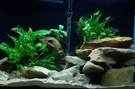 Cichlids.com: Aquascape In My 55 Gallon Mbuna Tank Aquascape Designs For Your Aquarium Room Fniture Ideas Aquascaping Articles Tutorials Videos The Green Machine Blog Of The Month August 2009 Wakrubau Aquascaping World Planted Tank Contest Design Awards Awesome A Moss Experiment Driftwood Sale Mzanita Pieces Two Gardens By Laszlo Kiss Mini Youtube Warsciowestronytop