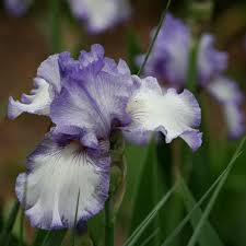 tips on growing bearded iris bulbs acer landscape services