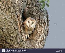 Barn Owl (Tyto Alba) Adult, At Nesthole In Mature Ash Tree, In ... Barn Owl Perching On A Tree Stump Facing Forward Stock Photo The Owls Of Australia Australian Geographic Audubon Field Guide Beautiful Perched 275234486 Barred Owl Vs Barn Hollybeth Organics Luxury Skin Care Why You Want Buddies Coast News Group Sleeping By Day Picture And Sitting Venezuela 77669470 Shutterstock Rescue Building Awareness Providing Escapes And Photography Owls Owlets At Charlecote Park Barnaby The Ohio Wildlife Center