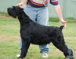 Do Giant Schnauzers Shed by Giant Schnauzer Complete Breed Information And Photos