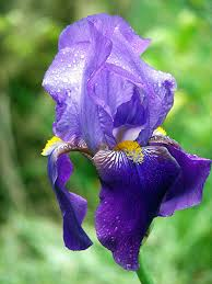 irises how to plant grow and care for iris flowers the