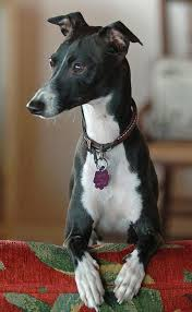 Do Italian Greyhounds Shed A Lot by 110 Best Hounds Images On Pinterest Greyhounds Animals And