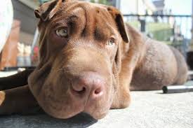 Do Shar Pei Lab Mix Shed by Lab Pei Dog Breed Information And Pictures