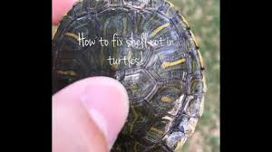 Snapping Turtle Shell Shedding by How To Fix Shell Rot Injuries And Fungal Infections In Turtles