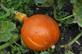 Heaviest Pumpkin Ever by Easy Steps For Growing Giant Sized Vegetables