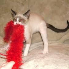 snowshoe cat snowshoe cat club website