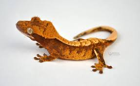 Crested Gecko Shedding Help by Red Extreme Harlequin Crested Gecko By Warren Reptiles