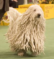 Large Dog Breeds That Dont Shed by Puli Dog Photo Are Actually Dogs Komondor And Puli Are More