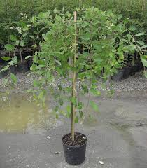 Buy Dwarf Weeping Willow Tree Online From UK Supplier Of Garden Ornamental Trees