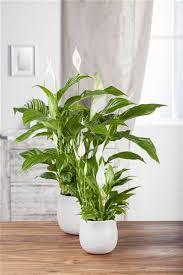 spathiphyllum floribundum torelli einblatt torelli