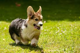 Hypoallergenic Dog Breeds That Dont Shed by Healthiest Dog Breeds 30 Dogs With The Least Health Problems