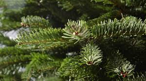 Silvertip Fir Christmas Tree by It Has Nothing To Do With Holiday Spirit Why Your Christmas Tree
