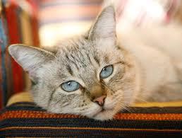 renal failure in cats kidney failure in cats feline wellness