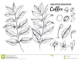 Hand Drawn Pencil Illustrations Coffee Tree And Beans H