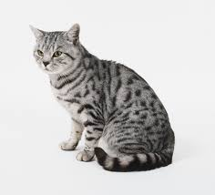 haired cats american shorthair cat breed information pictures