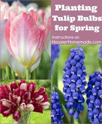 best 25 when to plant tulips ideas on planting