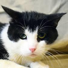 Siamese Cats For Adoption In Grand Island Nebraska PetCurious