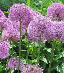 best quality allium bulbs for sale from award winning nyssen