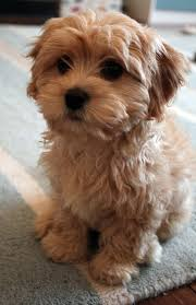 Dogs That Dont Shed Hair Ireland by Cavapoo Google Search Puppies Pinterest Cavapoo Google